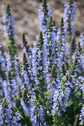 Color Spires® Crystal Blue Sage (Salvia nemorosa 'Crystal Blue') at Stein's Garden & Home