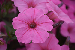 Supertunia Vista® Bubblegum Petunia (Petunia 'Supertunia Vista Bubblegum') at Stein's Garden & Home