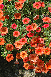 Superbells® Dreamsicle Calibrachoa (Calibrachoa 'Superbells Dreamsicle') at Stein's Garden & Home