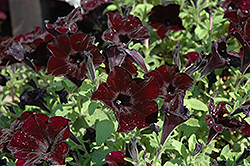 Crazytunia® Black Mamba Petunia (Petunia 'Crazytunia Black Mamba') at Stein's Garden & Home