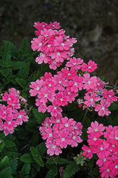 Lanai® Upright Pink Verbena (Verbena 'Lanai Upright Pink') at Stein's Garden & Home