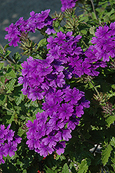 Superbena® Dark Blue Verbena (Verbena 'Superbena Dark Blue') at Stein's Garden & Home