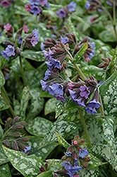 High Contrast Lungwort (Pulmonaria 'High Contrast') at Stein's Garden & Home