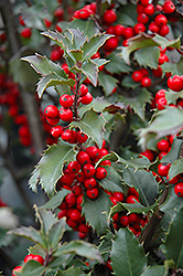 Blue Princess Meserve Holly (Ilex x meserveae 'Blue Princess') at Stein's Garden & Home