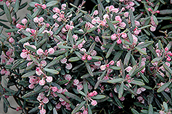 Blue Ice Bog Rosemary (Andromeda polifolia 'Blue Ice') at Stein's Garden & Home
