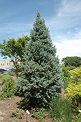 Upright Colorado Spruce (Picea pungens 'Fastigiata') at Stein's Garden & Home
