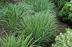 Cheyenne Sky Switch Grass (Panicum virgatum 'Cheyenne Sky') at Stein's Garden & Home