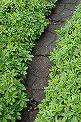 Green Carpet Japanese Spurge (Pachysandra terminalis 'Green Carpet') at Stein's Garden & Home