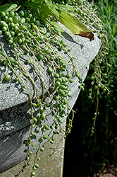 String Of Pearls (Senecio rowleyanus) at Stein's Garden & Home
