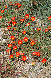 Rio Grande Orange Portulaca (Portulaca oleracea 'Rio Grande Orange') at Stein's Garden & Home