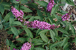 Lo And Behold® Pink Micro Chip Dwarf Butterfly Bush (Buddleia 'Lo And Behold Pink Micro Chip') at Stein's Garden & Home