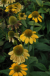 Sombrero® Lemon Yellow Coneflower (Echinacea 'Balsomemy') at Stein's Garden & Home