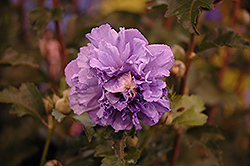 Blueberry Smoothie™ Rose of Sharon (Hibiscus syriacus 'DS01BS') at Stein's Garden & Home