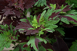 Twist And Twirl Coleus (Solenostemon scutellarioides 'Twist And Twirl') at Stein's Garden & Home