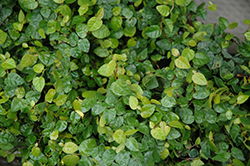 Creeping Fig (Ficus repens) at Stein's Garden & Home
