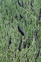 Goodwin Creek Gray Lavender (Lavandula x ginginsii 'Goodwin Creek Gray') at Stein's Garden & Home