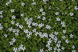 Blue Star Creeper (Isotoma fluviatilis) at Stein's Garden & Home