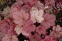 Georgia Peach Coral Bells (Heuchera 'Georgia Peach') at Stein's Garden & Home