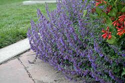 Six Hills Giant Catmint (Nepeta x faassenii 'Six Hills Giant') at Stein's Garden & Home