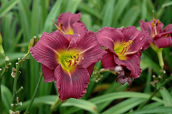 Little Grapette Daylily (Hemerocallis 'Little Grapette') at Stein's Garden & Home