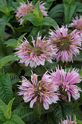 Cotton Candy Beebalm (Monarda 'Cotton Candy') at Stein's Garden & Home