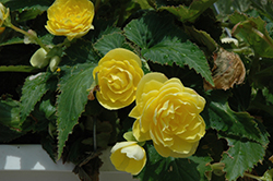 Nonstop® Joy Yellow Begonia (Begonia 'Nonstop Joy Yellow') at Stein's Garden & Home