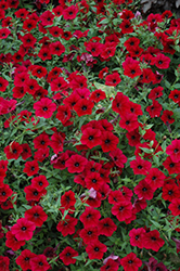 Tidal Wave Red Velour Petunia (Petunia 'Tidal Wave Red Velour') at Stein's Garden & Home
