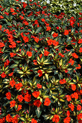 SunPatiens® Spreading Tropical Orange New Guinea Impatiens (Impatiens 'SunPatiens Spreading Tropical Orange') at Stein's Garden & Home