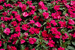 Bounce™ Cherry Impatiens (Impatiens 'Balboucher') at Stein's Garden & Home