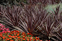 Red Sensation Grass Palm (Cordyline australis 'Red Sensation') at Stein's Garden & Home