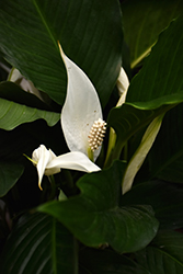 Peace Lily (Spathiphyllum wallisii) at Stein's Garden & Home