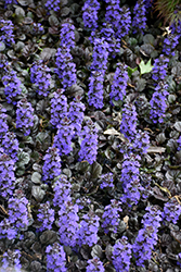 Black Scallop Bugleweed (Ajuga reptans 'Black Scallop') at Stein's Garden & Home