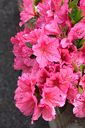 Renee Michelle Azalea (Rhododendron 'Renee Michelle') at Stein's Garden & Home