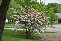Stellar Pink Flowering Dogwood (Cornus 'Stellar Pink') at Stein's Garden & Home