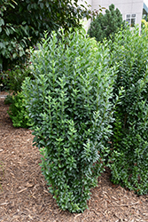 Straight Talk™ Common Privet (Ligustrum vulgare 'Swift') at Stein's Garden & Home