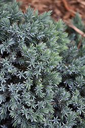 Blue Star Juniper (Juniperus squamata 'Blue Star') at Stein's Garden & Home