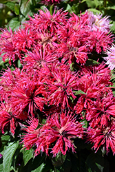 Cherry Pops Beebalm (Monarda 'Cherry Pops') at Stein's Garden & Home