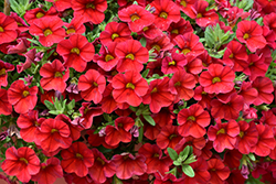 Superbells® Red Calibrachoa (Calibrachoa 'Superbells Red') at Stein's Garden & Home