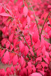 Cole's Compact Burning Bush (Euonymus alatus 'Cole's Compact') at Stein's Garden & Home