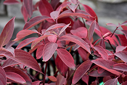 Arctic Fire Red Twig Dogwood (Cornus sericea 'Farrow') at Stein's Garden & Home