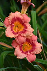 Strawberry Candy Daylily (Hemerocallis 'Strawberry Candy') at Stein's Garden & Home