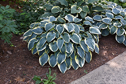 First Frost Hosta (Hosta 'First Frost') at Stein's Garden & Home