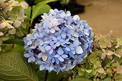Blue Enchantress Hydrangea (Hydrangea macrophylla 'Monmar') at Stein's Garden & Home