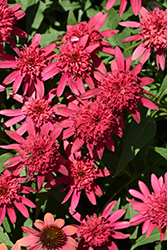 Double Scoop™ Raspberry Coneflower (Echinacea 'Balsceras') at Stein's Garden & Home