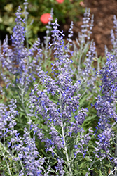 Lacey Blue Russian Sage (Perovskia atriplicifolia 'Lacey Blue') at Stein's Garden & Home
