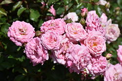 Sweet Drift Rose (Rosa 'Meiswetdom') at Stein's Garden & Home