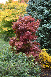 Twombly's Red Sentinel Japanese Maple (Acer palmatum 'Twombly's Red Sentinel') at Stein's Garden & Home