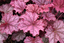 Berry Smoothie Coral Bells (Heuchera 'Berry Smoothie') at Stein's Garden & Home