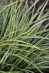 EverColor® Everest Japanese Sedge (Carex oshimensis 'Carfit01') at Stein's Garden & Home