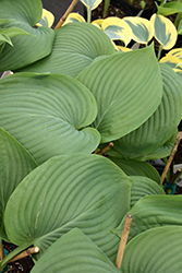 Empress Wu Hosta (Hosta 'Empress Wu') at Stein's Garden & Home